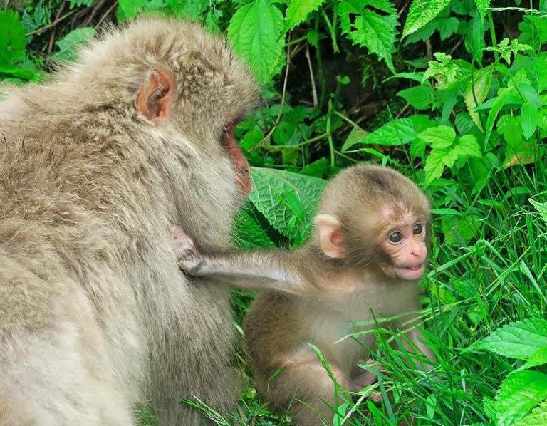Ce que personne ne vous dit sur la visite du parc des singes de Jigokudani en été