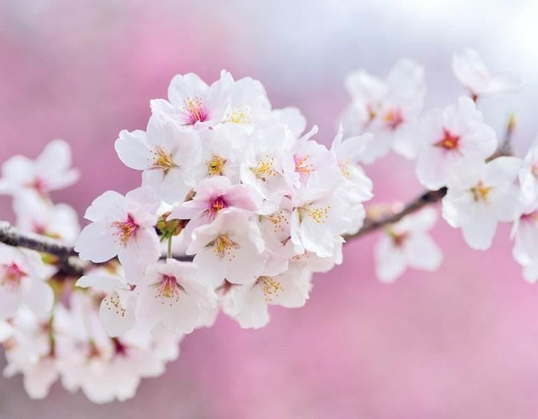 Le meilleur moment pour visiter le Japon pour les fleurs de cerisier dévoilé