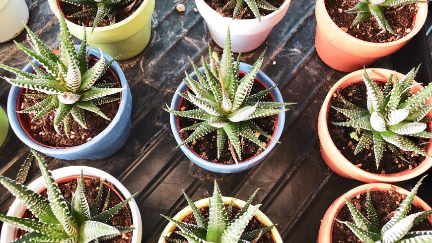 Aloe Vera: ses avantages incroyables (et où les essayer)