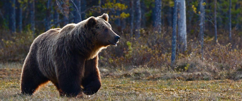 L'ours brun: le connaître, le respecter et l'aimer