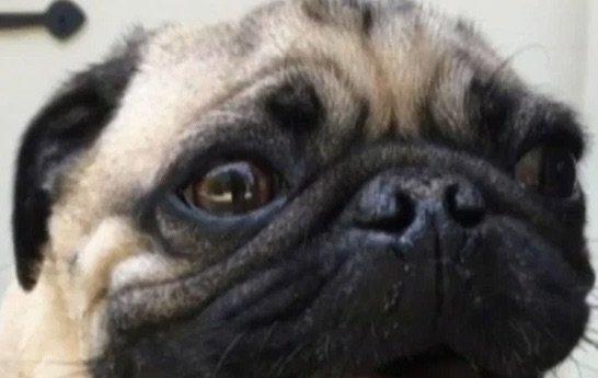 Premier chien américain diagnostiqué avec un coronavirus