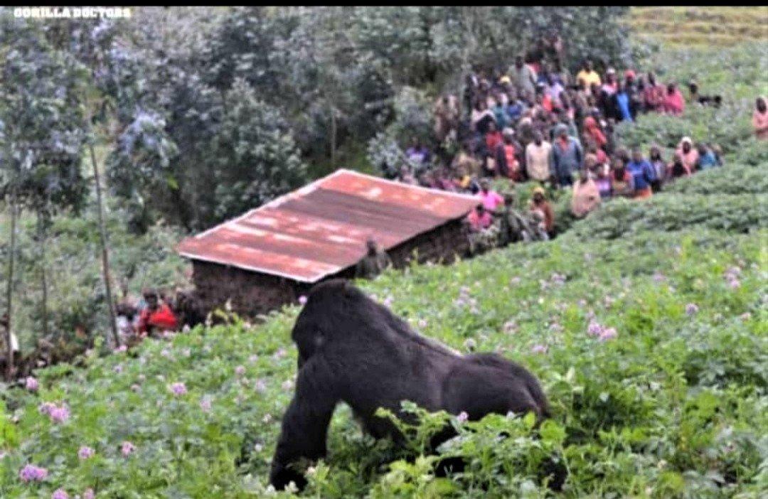 Le suivi des gorilles et des chimpanzés reste fermé aux touristes