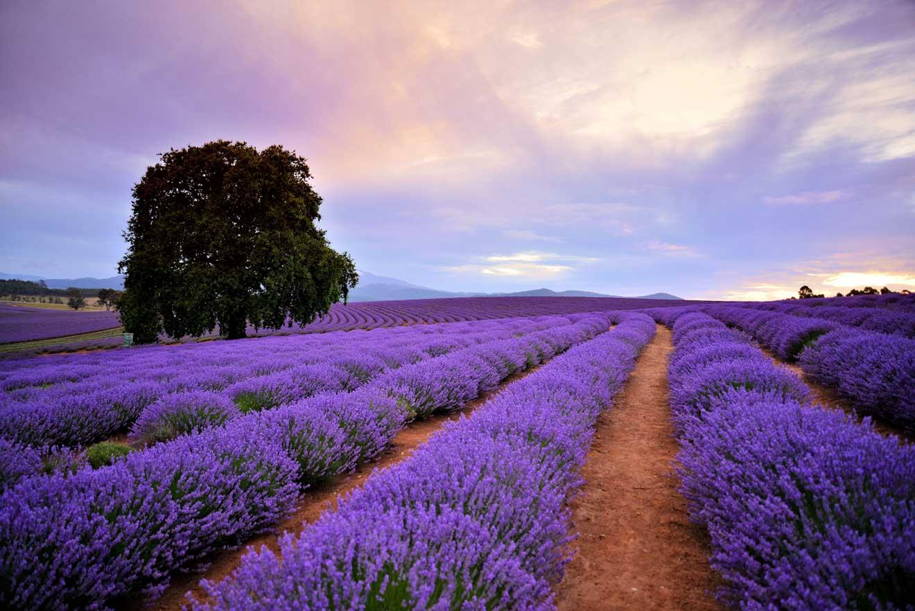 Visite à pied du jardin de Bridestowe Lavender Estate en Tasmanie