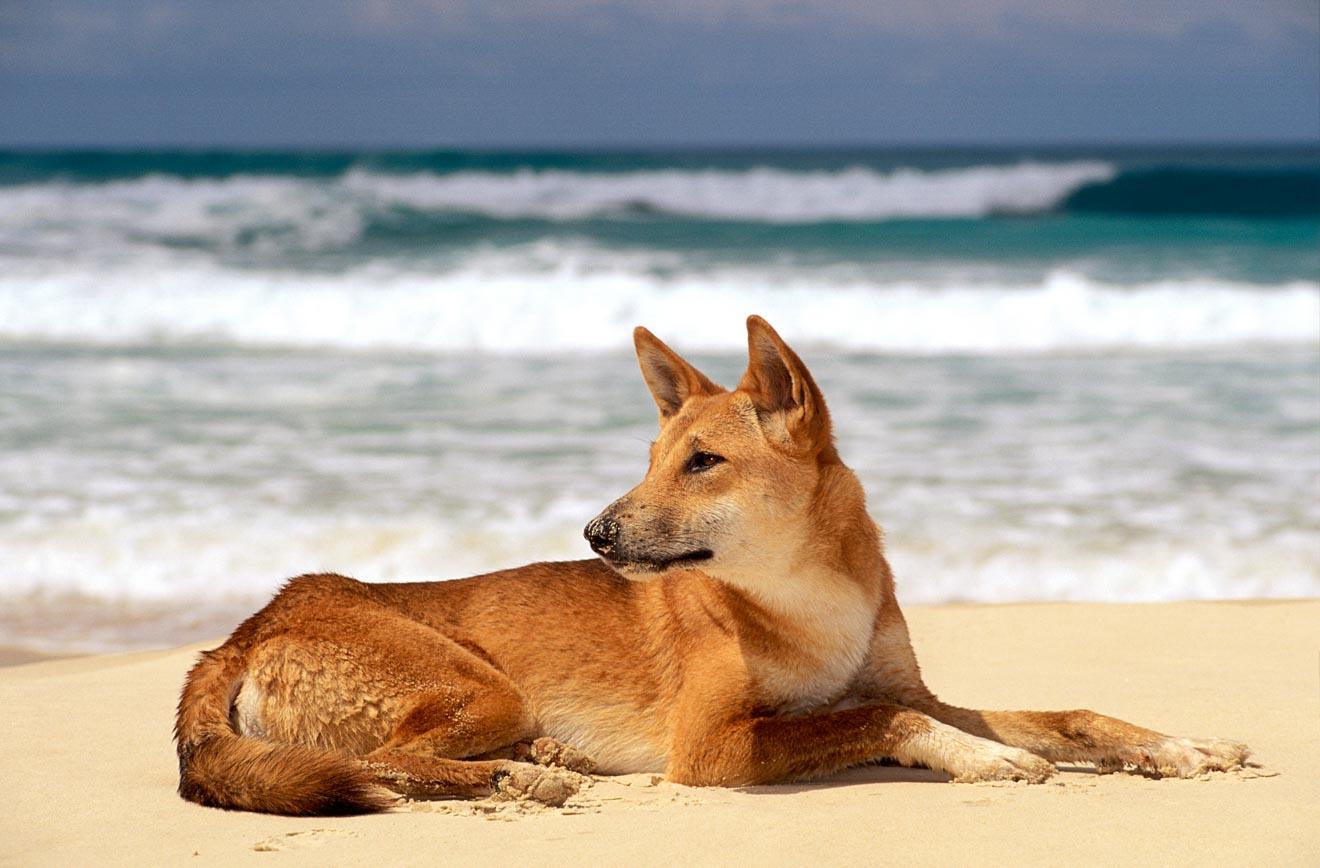 dingo à fraser island