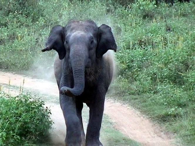 Vous rêvez d'un safari de voyage? Comment calmer un éléphant agité