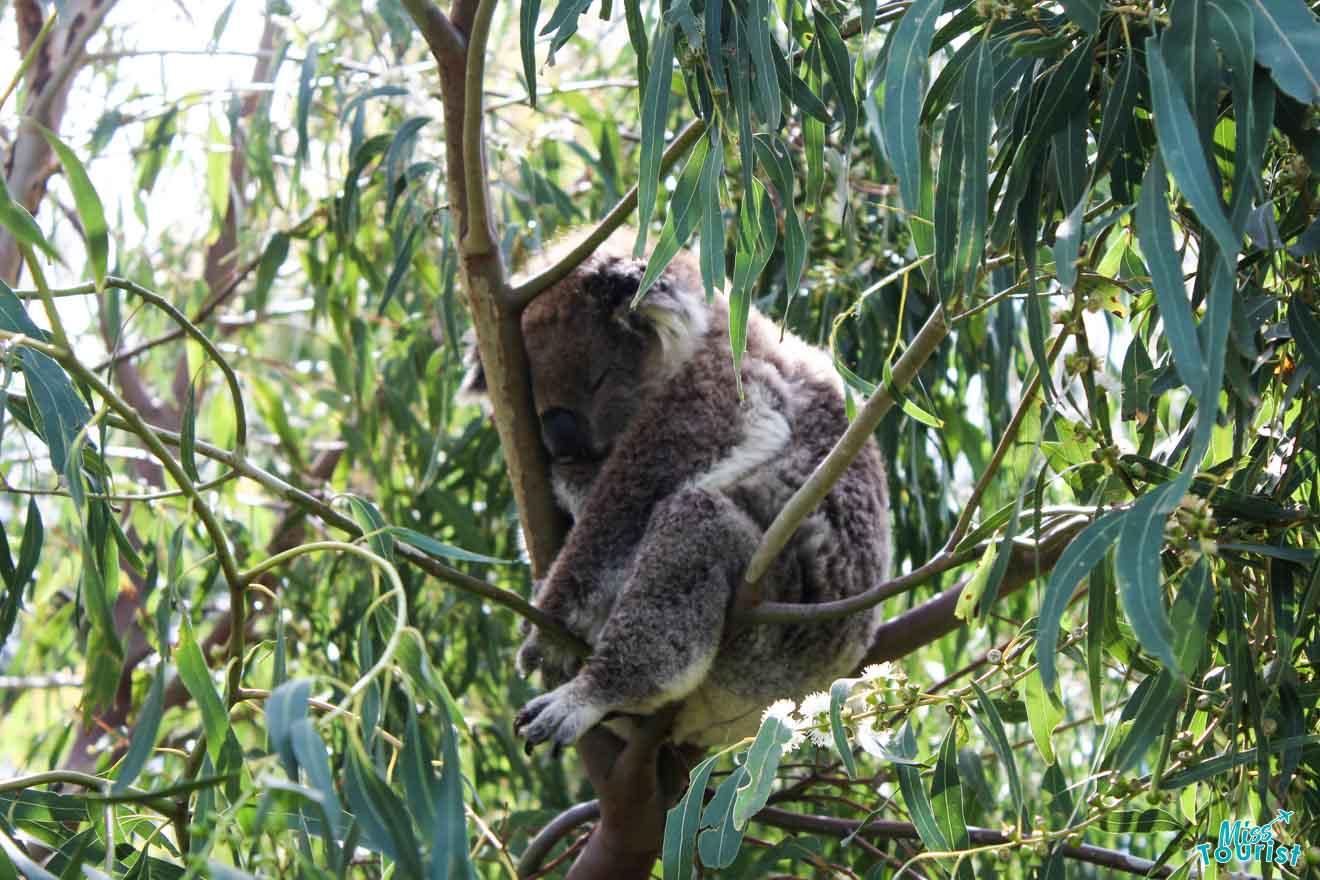 Des arrêts incroyables - Koala Great Ocean Road Route