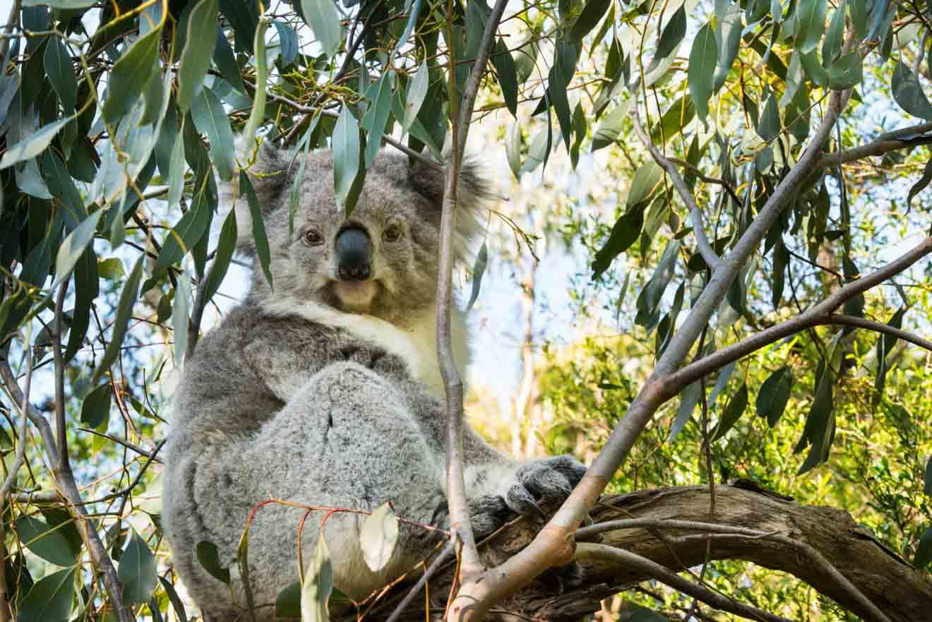Meilleurs conseils pour planifier une excursion d'une journée parfaite à Phillip Island - Koala Que faire à Phillip Island