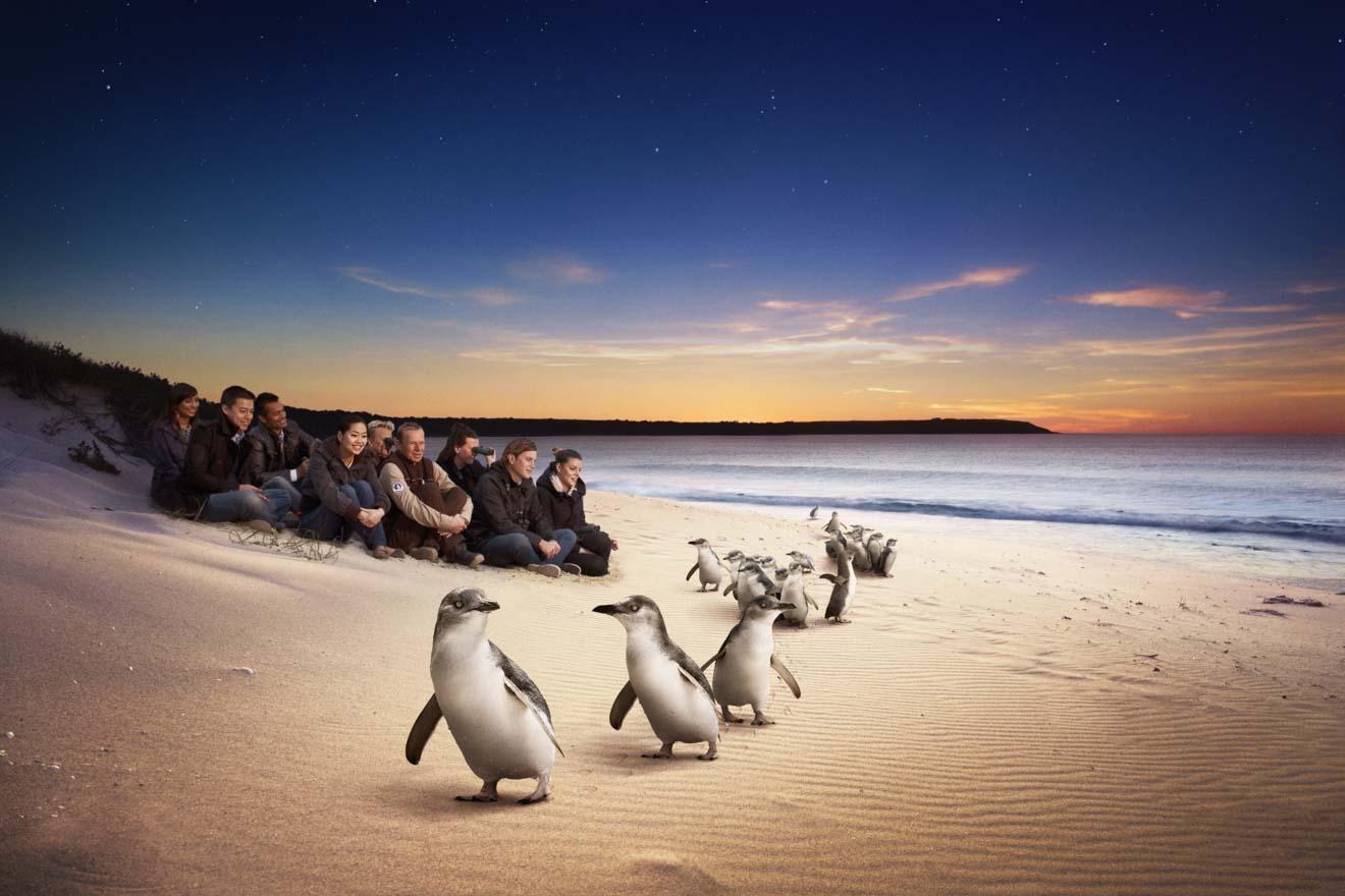 phillip island penguin parade tickets - Pingouins Que faire à Phillip Island?