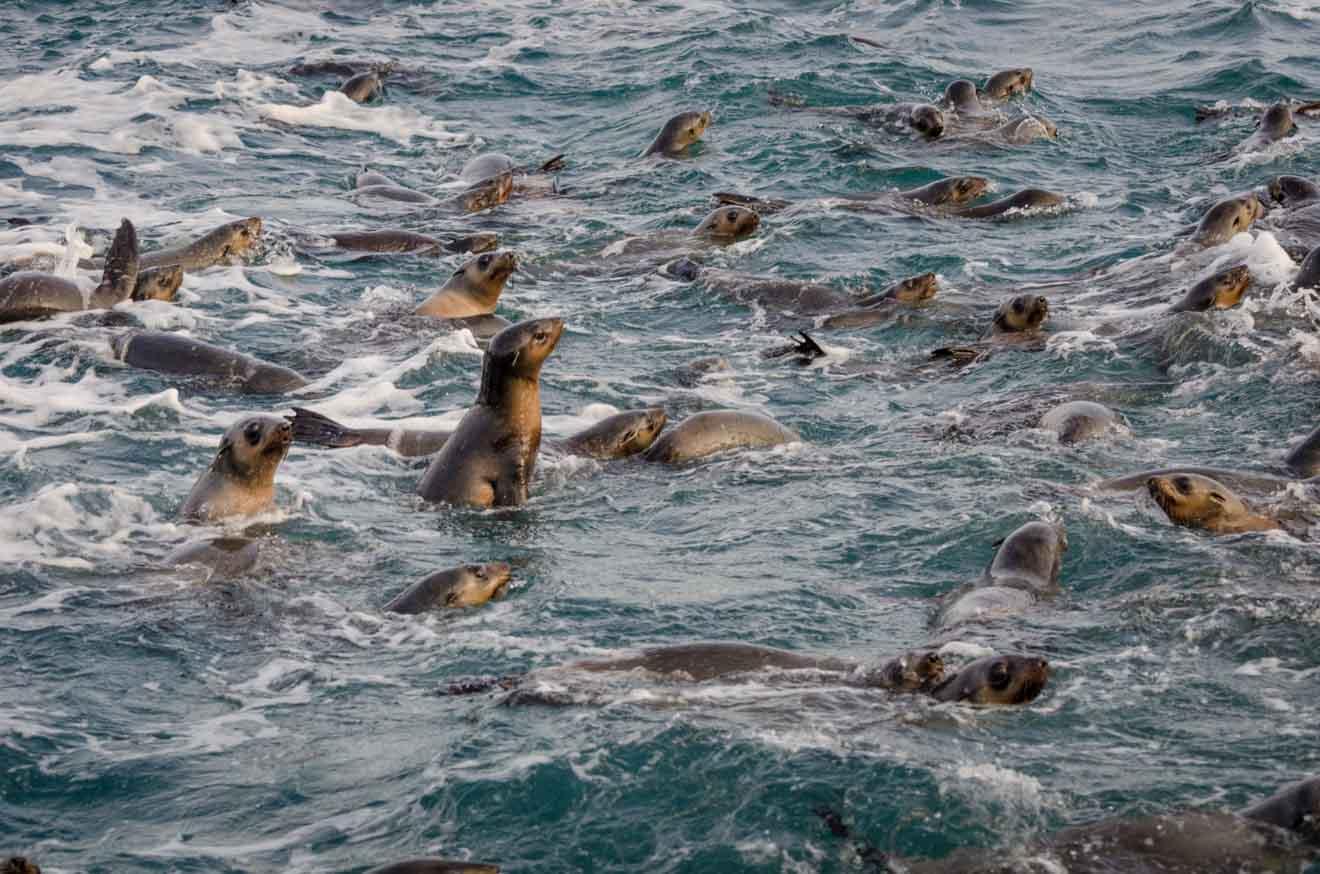 Otarie à fourrure Choses à faire à Phillip Island à Melbourne en Australie