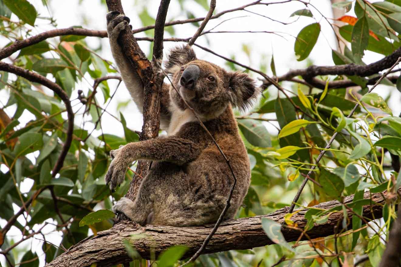 koala Que faire à brisbane et Gold Coast
