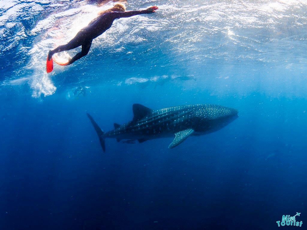meilleur moment pour nager avec les requins baleines Ningaloo
