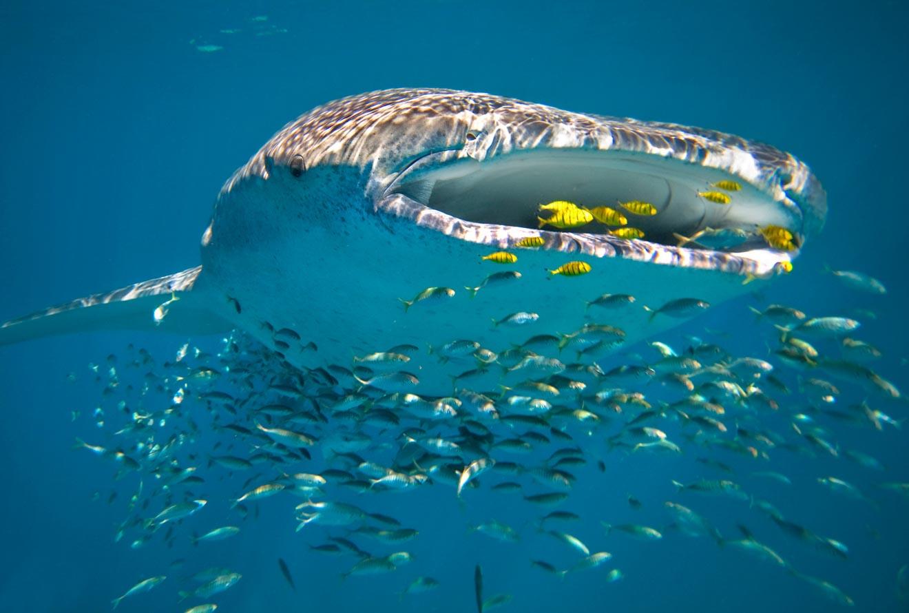 meilleur tour de requin baleine Australie occidentale Ningaloo