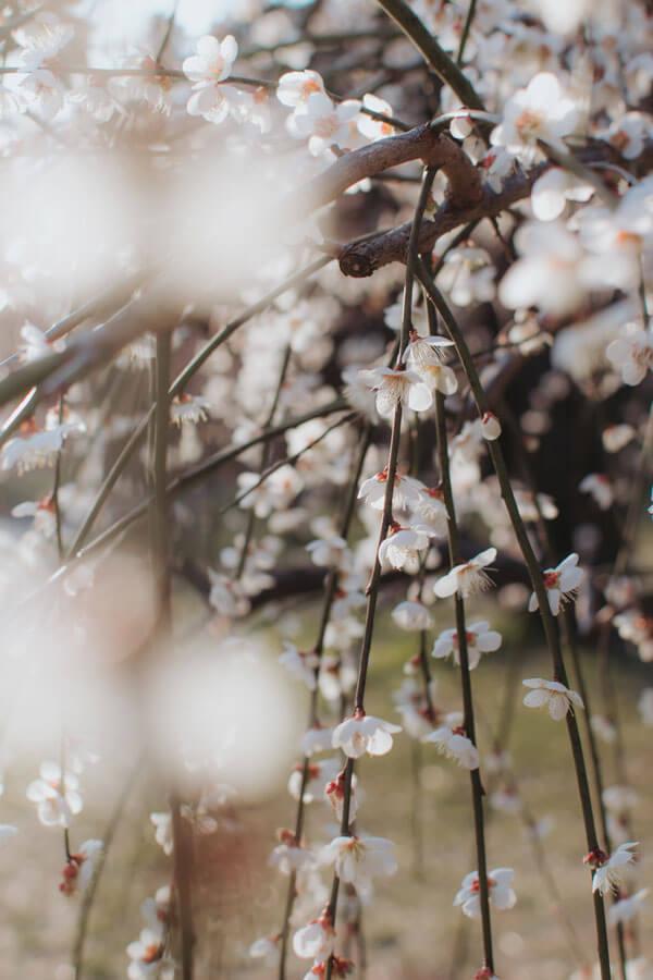 Profitez du début du printemps au Japon au parc Hanegi