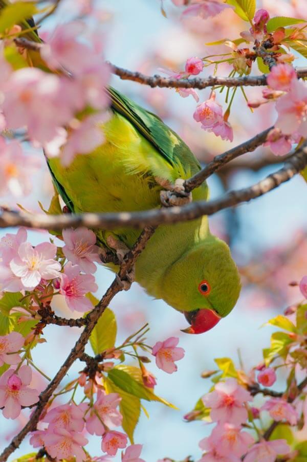 Profitez du Japon au printemps avec Sakura à floraison précoce