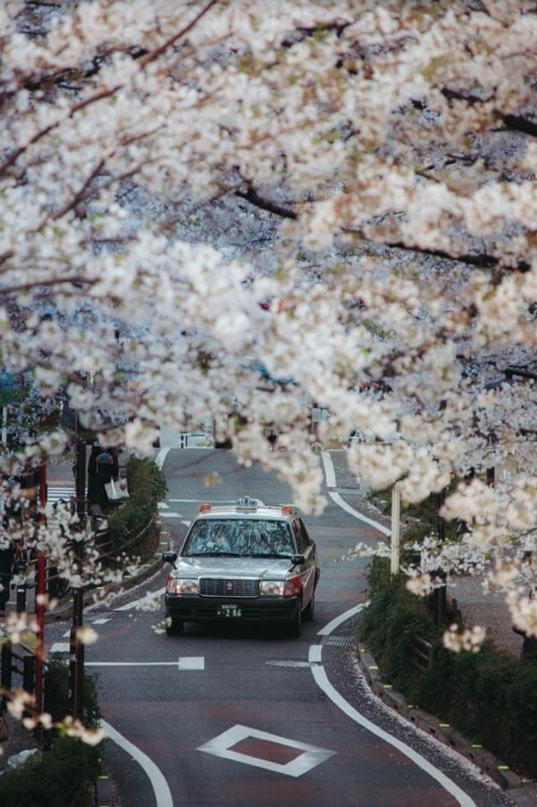 Le Japon au printemps: Sakura-dori, Shibuya