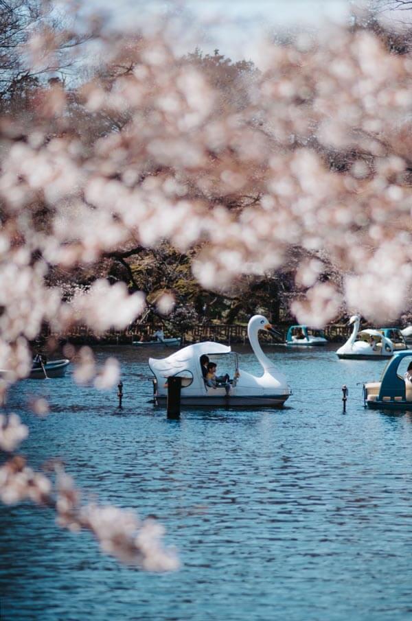 Profitez du printemps au Japon au parc Inokashira, Tokyo