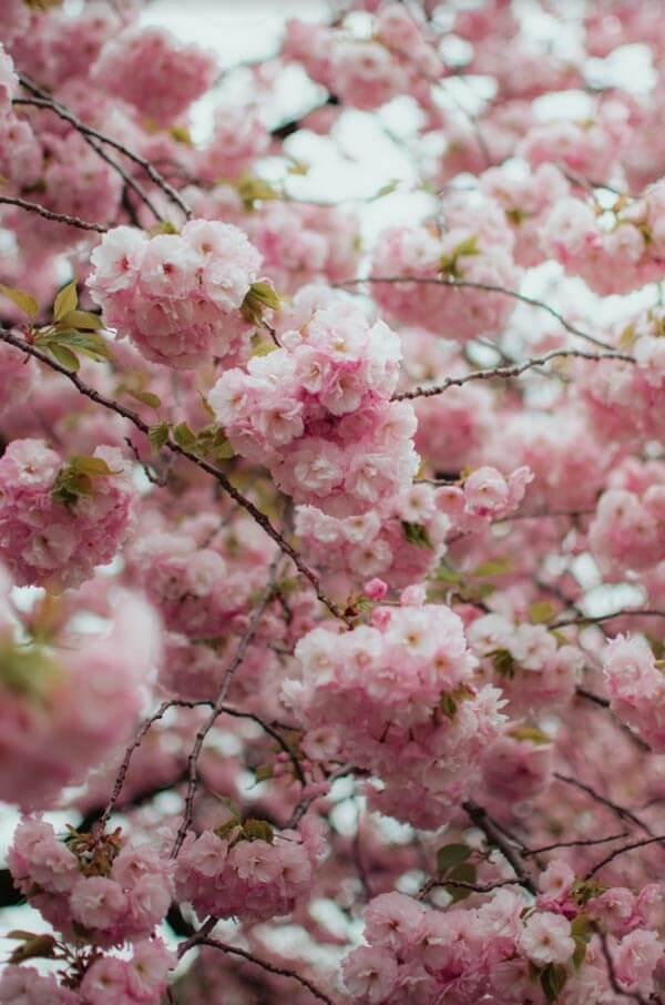 Yaezakura floraison tardive à Shinjuku-gyoen, Tokyo