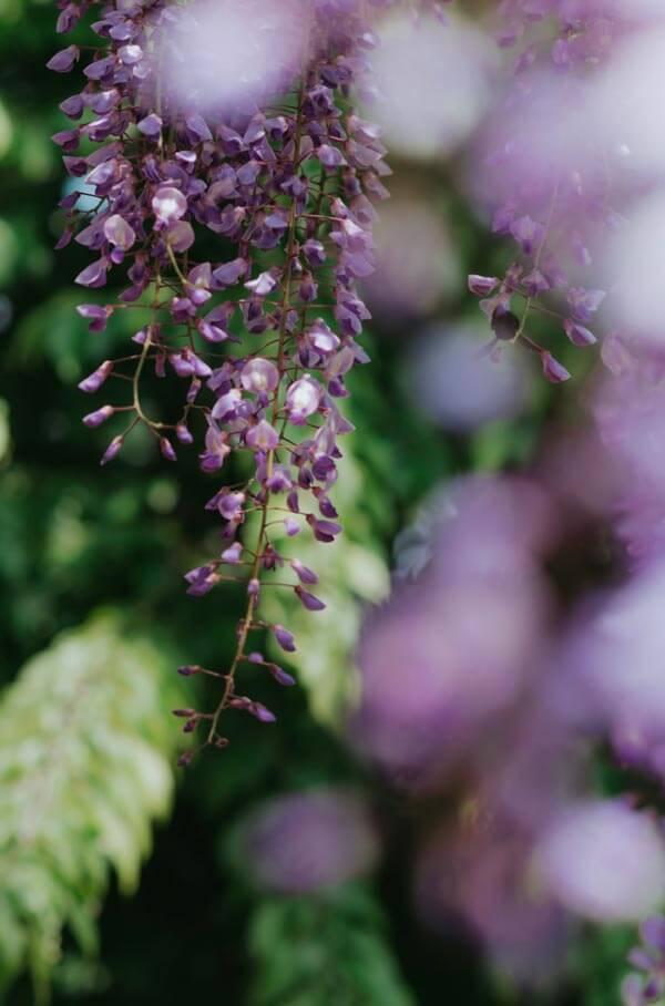 Profitez du Japon au printemps avec Wisteria