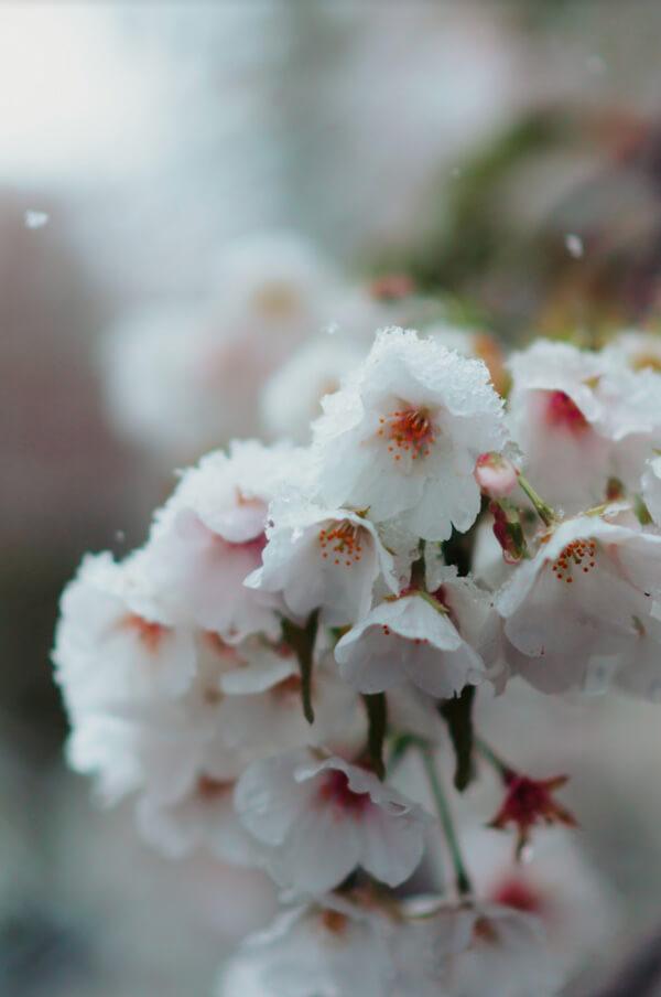 Yukizakura au printemps au Japon