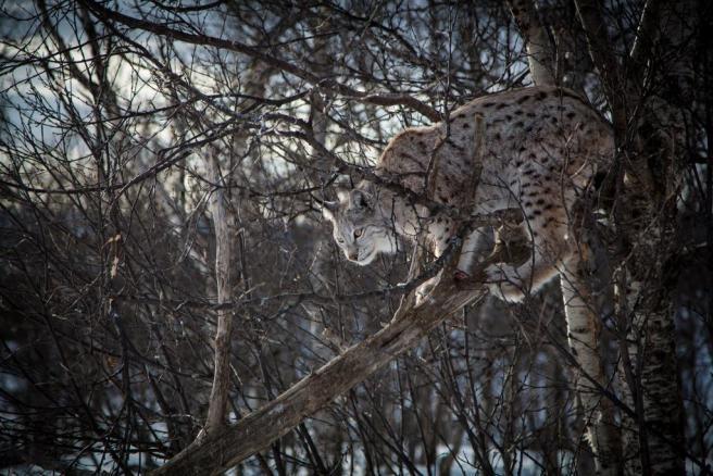 Écotourisme de réintroduction d'espèces. Lynx eurasien en manteau d'hiver. Par Tom Bech via Flickr https://www.flickr.com/photos/viatorius/8603098728