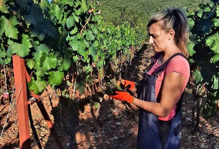 Récolte à Villa Vinea
