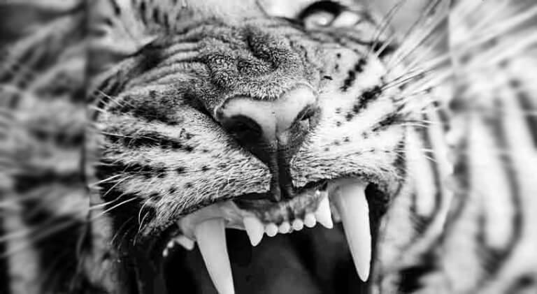 Hamir Tiger Ranthambore