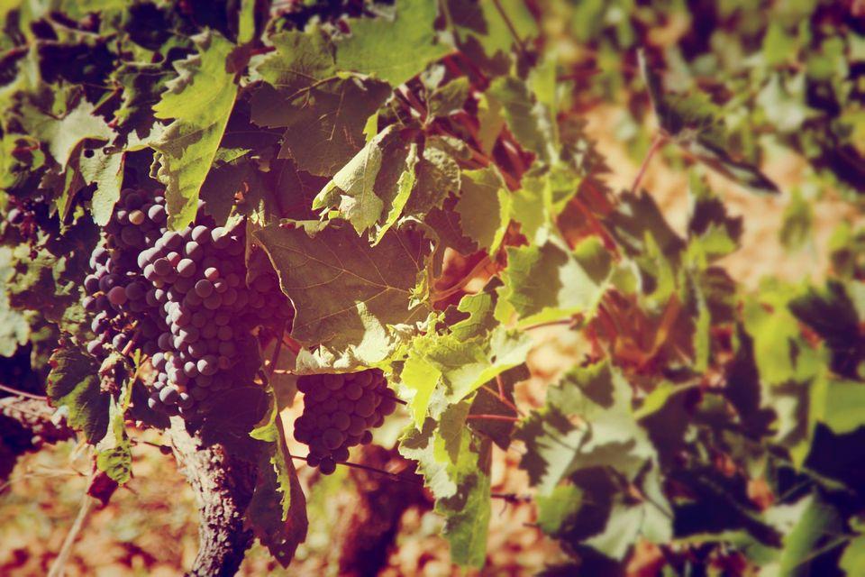 Vignoble de Kalpić