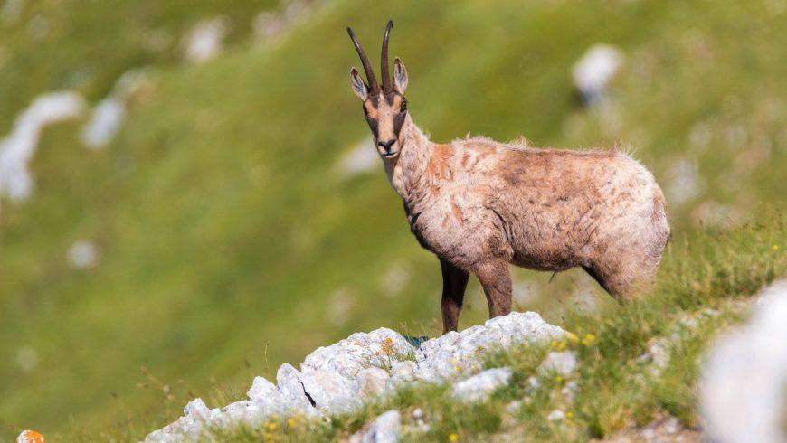 Photo du chamois des Apennins