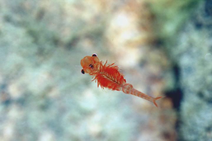 Photo d'un Chirocephalus marchesonii, une espèce de crevette féerique unique au monde.