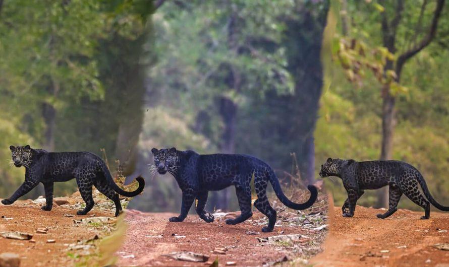 Un photographe capture un léopard noir rare dans le parc national de Tadoba
