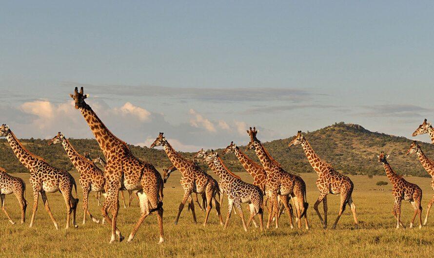 Lancement d'un plan d'action pour conserver la girafe en Tanzanie