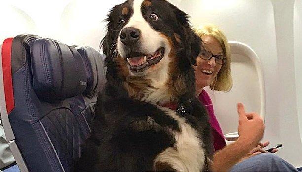 Les animaux de soutien émotionnel ne sont plus les bienvenus dans les avions américains en tant qu'animaux d'assistance