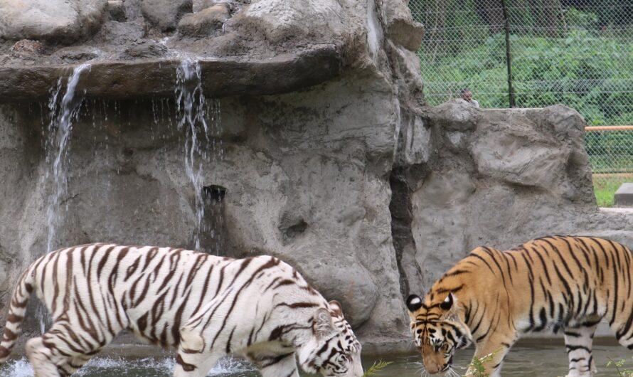 Les tigres de retour en Ouganda après 40 ans d'interruption