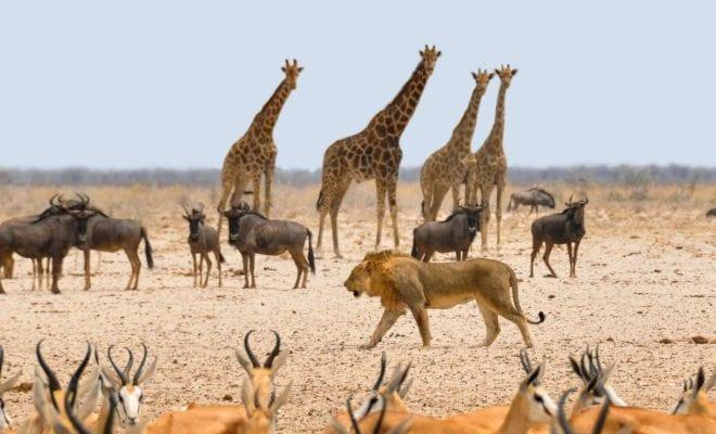 Le coronavirus en Afrique pourrait inverser 30 ans de progrès en matière de conservation de la faune