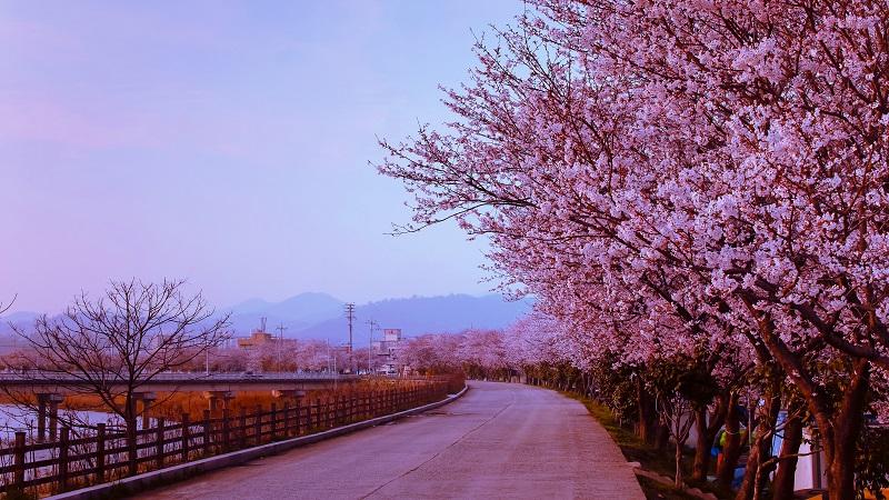 fleur-cerisier-fleur-a-naju-ville-sud-corée