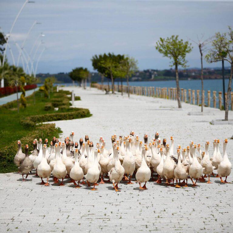 Les animaux envahissent les villes alors que le monde est en confinement