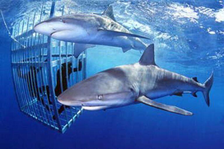 SHARK CAGE DIVING SUR OAHU, HAWAII : TOUT CE QUE VOUS DEVEZ SAVOIR